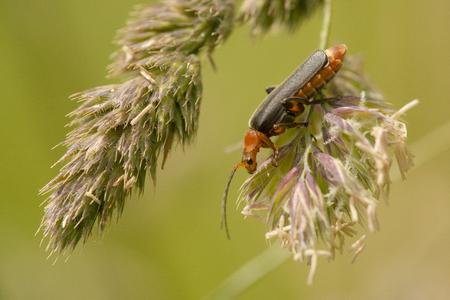 imago: Soldier Beetle Cantharis livida climbing on a grass-stalk Stock Photo