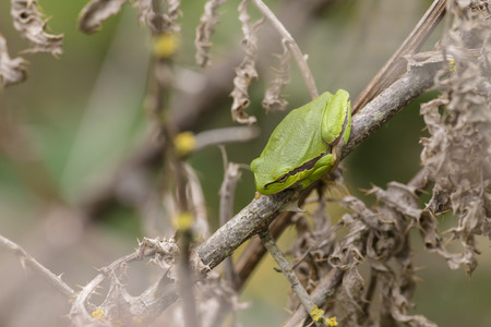 hyla: European Treefrog Hyla arborea perched on a dead branch