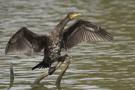 carbo: Great Cormorant Phalacrocorax carbo drying its feathers on a branch above the water