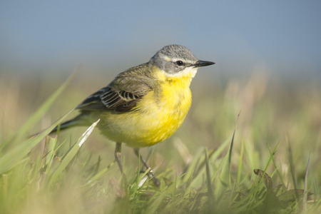 motacilla: Blue-headed Wagtail Motacilla flava male standing in a grass-land near the water