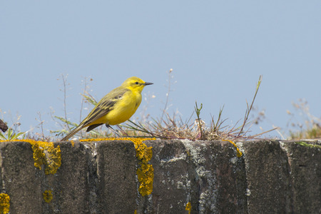 insectivorous plants: Yellow Wagtail Motacilla flavissima male standing on a Lichen and Grass covered wall