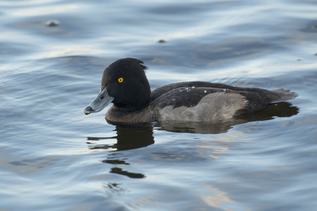 duck: Tufted Duck Aythya fuligula drake floating on the surface