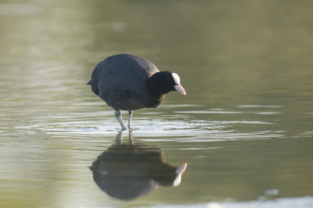 waterbird: Eurasian Coot Fulica atra standing in shallow water with reflections