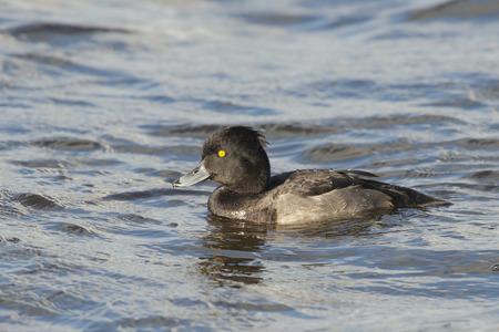 drake: Tufted Duck Aythya fuligula juvenile drake swimming in water