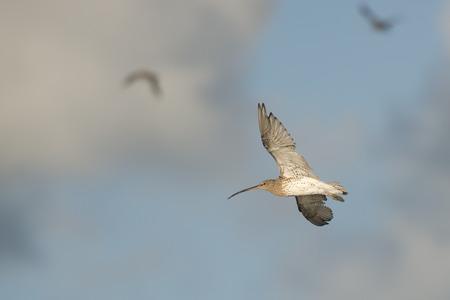 shorebird: Eurasian Curlew Numenius arquata in flight against a cloudy sky
