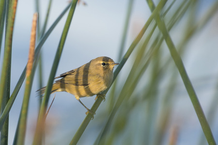 insectivorous: Common Chiffchaff Phylloscopus collybita perched on reed