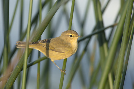 insectivorous plants: Common Chiffchaff Phylloscopus collybita perched on reed