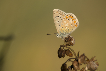 icarus: Common Blue Polyommatus icarus resting on an unidentified withered plant in late sunlight