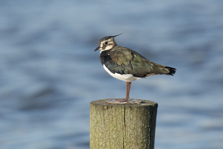 lapwing: Northern Lapwing Vanellus vanellus perched on a wooden pole