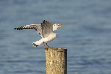 chroicocephalus: Juvenile Black-headed Gull Chroicocephalus ridibundus just landed on a wooden pole Stock Photo