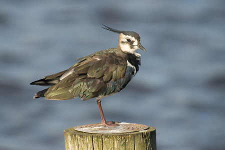 waterbird: Northern Lapwing Vanellus vanellus perched on a wooden pole in the water