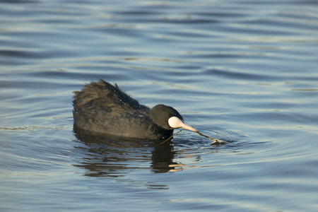 fulica: Eurasian Coot Fulica atra foraging on the surface turning its head and feeding itself with vegetation Stock Photo