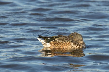 northern shoveler duck: Northern Shoveler Anas clypeata juvenile drake resting on the surface with eye open Stock Photo
