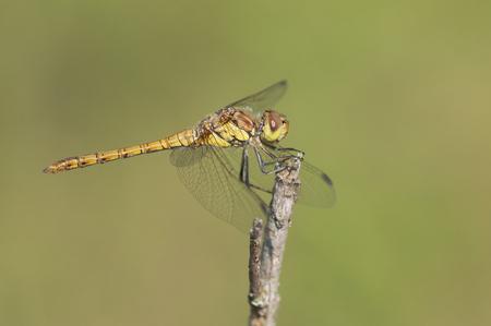 sympetrum: Common Darter Sympetrum striolatum fresh male resting on a dead branch
