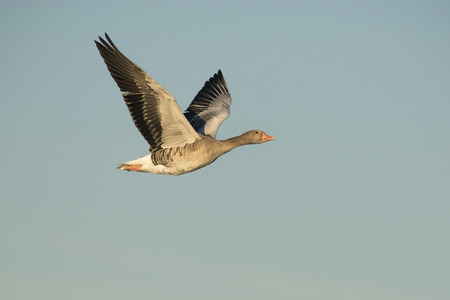 waterbird: Greylag Goose Anser anser flying against a blue sky Stock Photo
