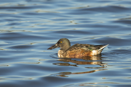 northern shoveler duck: Northern Shoveler Anas clypeata drake in eclipse plumage swimming in water