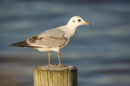 waterbird: Black-headed Gull Chroicocephalus ridibundus juvenile perched on a wooden pole