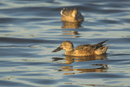 northern shoveler duck: Norther Shoveler Anas clypeata couple in eclipse plumage swimming in water