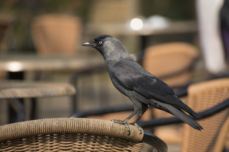 corvidae: Jackdaw Coloeus moneula standing on a chair at a terrace in Blijdorp, the Zoo of the city Rotterdam