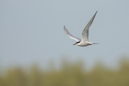 warm water fish: Common Tern Sterna hirundo flying against a blue sky