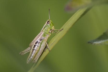 chorthippus: Meadow Grasshopper Chorthippus parallelus resting on a grass-stalk