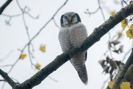strigiformes: Northern Hawk Owl Surnia ulula in Zwolle, the Netherlands, observing its enviroment, very rare Stock Photo