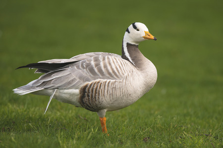 animal den: A Bar-headed Goose Anser indicus standing on one foot in a City Park