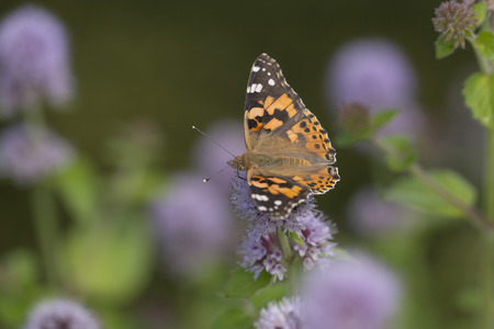august: Painted Lady Vanessa cardui extracting nectar from an unidentified flower
