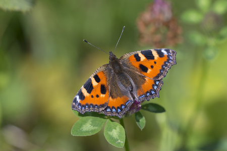 tortoiseshell: Small Tortoiseshell Aglais urticae resting on a Red Clover Stock Photo
