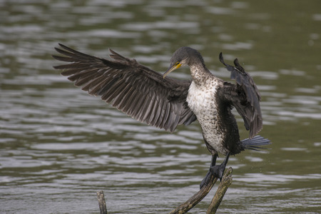 water wings: Great Cormorant Phalacrocorax carbo balancing on a branch above the water with spread wings