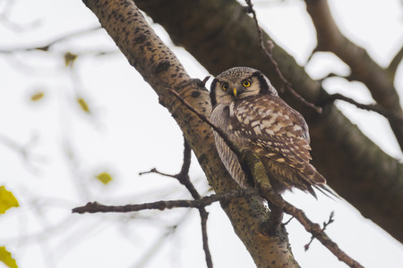 strigiformes: Northern Hawk-owl Surnia ulula perched in a tree observing the environment