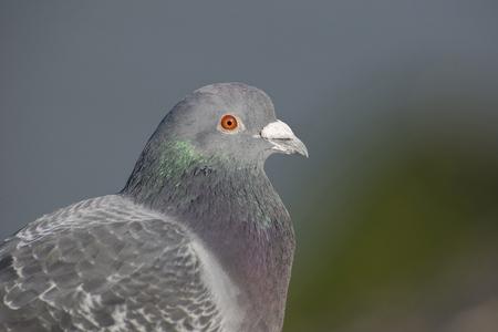 feral: Portrait of a Feral Pigeon Columba livia