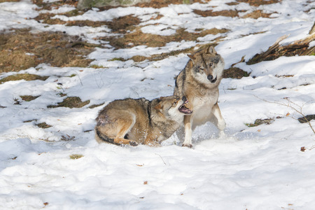 lupus: Two Eurasian Wolves Canis lupus lupus fighting in the snow