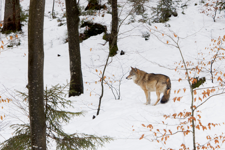 eurasian wolf: Eurasian Wolf Canis lupus lupus standing in snow in a forest