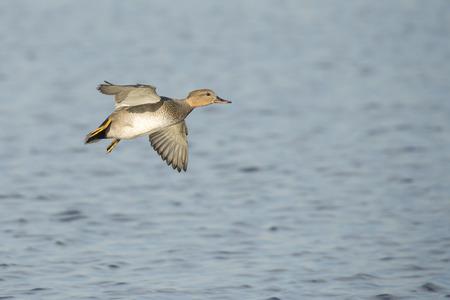 drake: Gadwall Anas strepera drake in flight above water