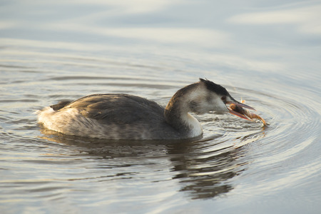 perca: Great Crested Grebe Podiceps cristatus in winter plumage eating a fresh caugth Perch Perca fluviatilis on the surface Stock Photo