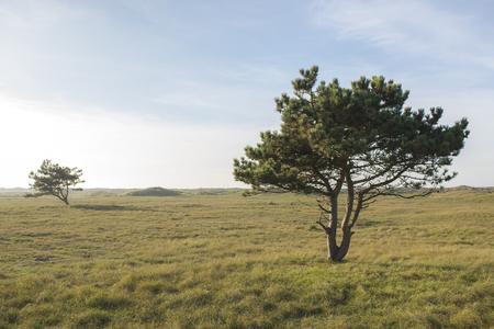 pinus sylvestris: Two Scotch Pines Pinus sylvestris trees on a field in a Dune Landscape
