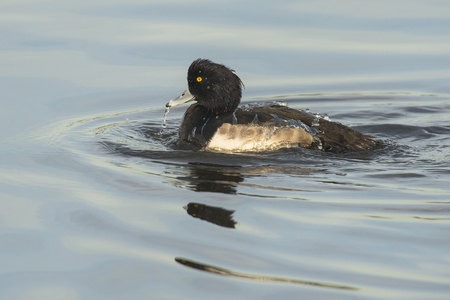 waterbird: Tufted Duck Aythya fuligula drake taking a bath on the surface