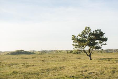 pinus sylvestris: Scotch Pine Pinus sylvestris growing in a field in a dune landscape