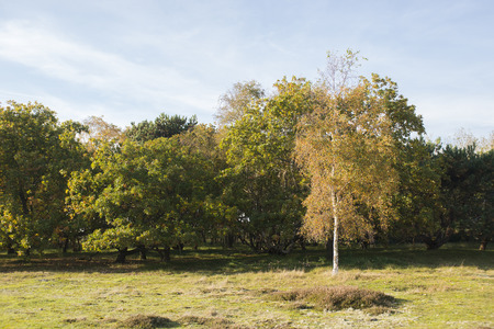 heath: Bushes at the edge of a Heath Land with a Silver Birch Betula pendula on the foreground