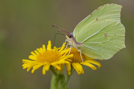 rhamni: Common Brimstone Gonepteryx rhamni extracting nectar from Common Fleabane Pulicaria dysenterica Stock Photo
