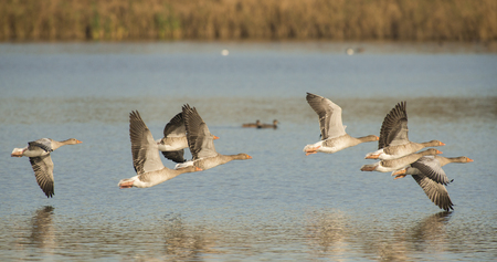 greylag: Group of Greylag Goose Anser anser in flight above water Stock Photo