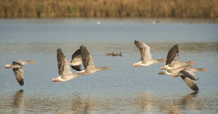 anser: Group of Greylag Goose Anser anser in flight above water Stock Photo
