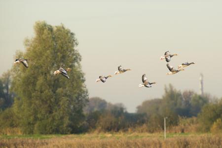 anser: Group of Greylag Goose Anser anser in flight above reed