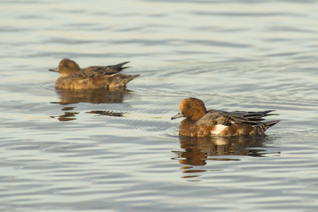 waterbird: Couple of Eurasian Wigeons (Anas penelope) swimming in water, male in eclipse plumage Stock Photo