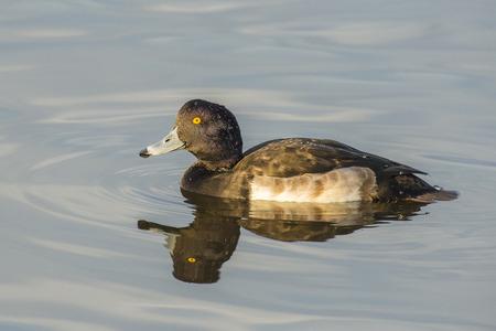 drifting: Tufted Duck Aythya fuligula dragon drifting on the surface