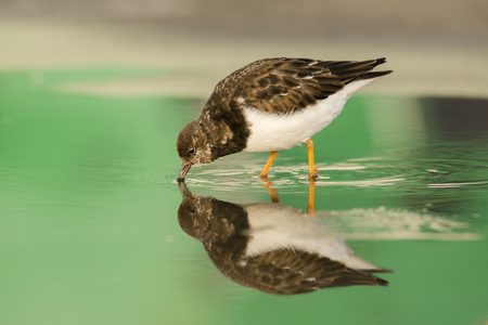 foraging: Ruddy Turnstone Arenaria interpres in winter plumage foraging in a small pool on a pier with reflections Stock Photo