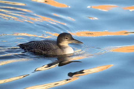 gavia: Great Northern Loon Gavia immer in winter plumage swimming in water with reflections Stock Photo