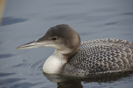 gavia: Great Northern Loon Gavia immer portrait in winter plumage drifting on water Stock Photo