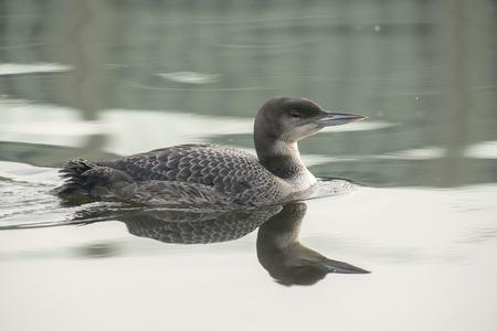 gavia: Great Northern Loon Gavia immer in winter plumage swimming in water Stock Photo